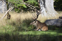 Red Deer and Bike Royalty Free Stock Images