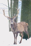 Red deer in blizzard Royalty Free Stock Image