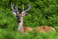 Red Deer in Bracken Royalty Free Stock Photo
