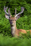Red Deer in Bracken Royalty Free Stock Images