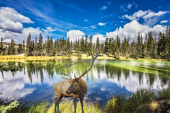 Red deer with branchy horns costs on charming lake Royalty Free Stock Photos