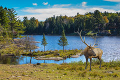 Red deer with branchy horns at the lake Royalty Free Stock Image
