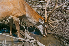 Red deer buck drinking close-up Stock Photos
