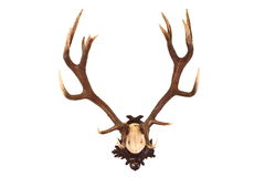 Red deer buck isolated trophy Stock Images