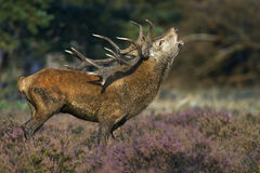 Red Deer burls Stock Image