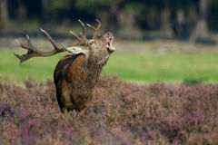 Red Deer burls Royalty Free Stock Images