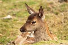 Red deer calf, cervus elaphus Royalty Free Stock Image