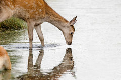 Red Deer calf Cervus elaphus drinking from stream. Red Deer calf Cervus elaphus drinking and looking into stream or river reflection stock photo