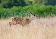 Red Deer calf (Cervus elaphus) running through long grass Royalty Free Stock Photography