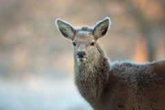 Red Deer calf close up portrait Royalty Free Stock Photography