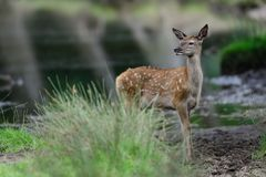 Red deer calf in the summer. Cervus elaphus Stock Photos