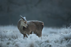 Red deer calf in winter Stock Images
