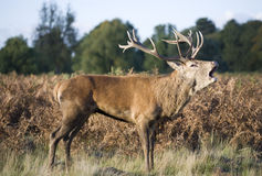 Red Deer calling Royalty Free Stock Photo