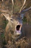 Red Deer calling stock photo