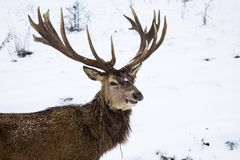The red deer or the Carpathian deer. Is found on an area of approximately 1000 km, the area where the Carpathians lie in Romania. The population is well stock photos