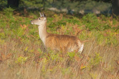 Red deer - Cervus elaphus Stock Photo