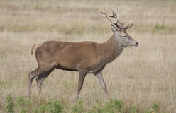 Red deer - Cervus elaphus Stock Photos
