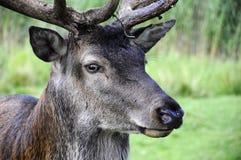 Red Deer - Cervus elaphus Royalty Free Stock Image