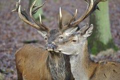 Red Deer - Cervus elaphus Stock Images