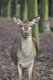 Red Deer - Cervus elaphus Royalty Free Stock Photos