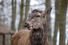 Red deer - Cervus elaphus Stock Image