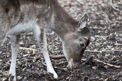 Red deer - Cervus elaphus Stock Photography