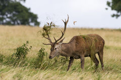 Red deer ( Cervus elaphus) Stock Image