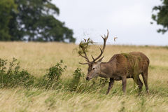 Red deer ( Cervus elaphus) Royalty Free Stock Image
