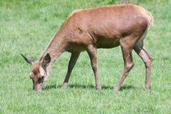 Red deer (Cervus elaphus). A female red deer, when eating Royalty Free Stock Photography