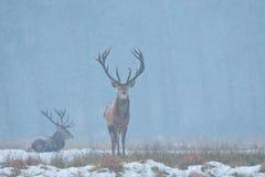 Red Deer (Cervus elaphus) Royalty Free Stock Photo