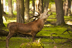Red deer / Cervus elaphus bellowing in the forest Stock Photos