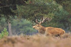 Red deer Cervus elaphus buck in moorland close up. Red deer Cervus elaphus stag with big antlers during rutting season in heathland with a dark forest on the royalty free stock images