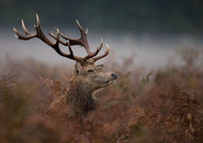 Red deer (Cervus elaphus) Stock Photography