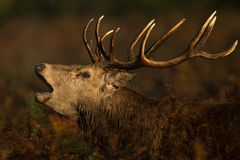 Red deer (Cervus elaphus) Royalty Free Stock Photos