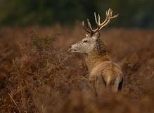 Red deer (Cervus elaphus) Royalty Free Stock Photo