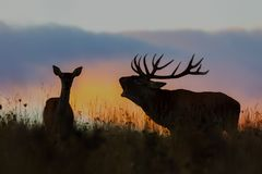Red deer, cervus elaphus, couple during rutting season at night. Roaring wild stag at sunset. Wildlife scenery on a horizon with orange color in background royalty free stock photo
