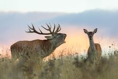 Red deer, cervus elaphus, couple during rutting season. stock photography