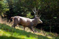 Red deer, cervus elaphus, Czech republic. Antler, trophy, deer, male, wild Royalty Free Stock Images