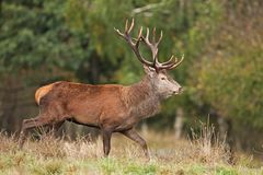 Red deer, cervus elaphus, Czech republic. Deer in autumn. Roar male. Wildlife, life. Trophy male. King of the forest Royalty Free Stock Images