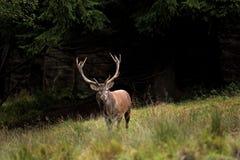 Red deer, cervus elaphus, Czech republic. Forest, mud, deer, run, king, trophy Stock Photo