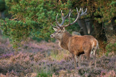 Red deer (Cervus elaphus). Stock Image