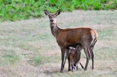 Red deer, Cervus elaphus Royalty Free Stock Photography