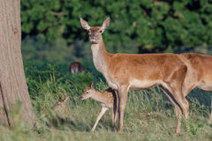 Red deer Cervus elaphus female with young baby calf Royalty Free Stock Images