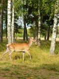 Red deer (Cervus elaphus) in forest Stock Images