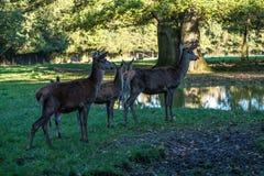 Red deer, Cervus elaphus in a german nature park stock image