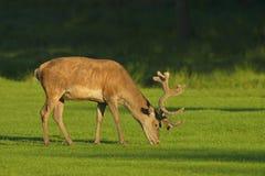 Red deer. (Cervus elaphus), Germany, Europe royalty free stock photos
