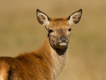 Red deer (Cervus elaphus) hind Stock Image