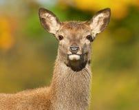 Red deer (Cervus elaphus) hind Royalty Free Stock Photo