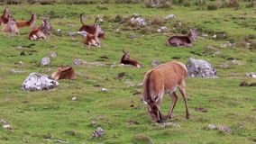 Red deer, cervus elaphus, hind, female feeding and walking during rut in autumn. cairngorm NP, scotland.