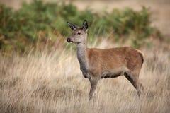 Red deer, Cervus elaphus Stock Photography